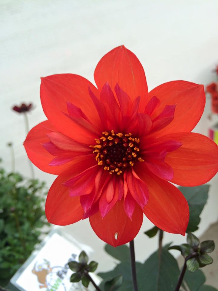 Dahlia dream time