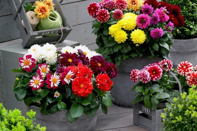 Dahlia labella photo beekenkamp ornamentals