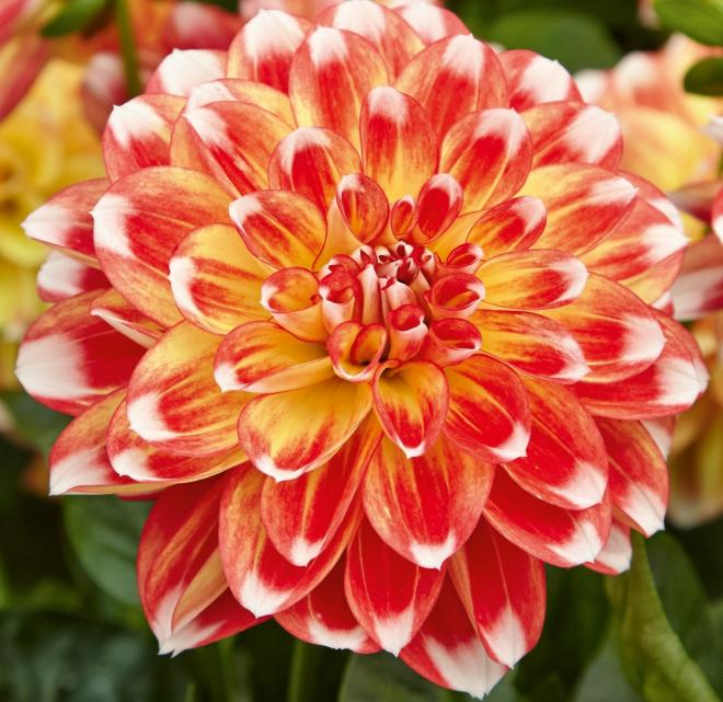 Dahlia lubega power tricolor