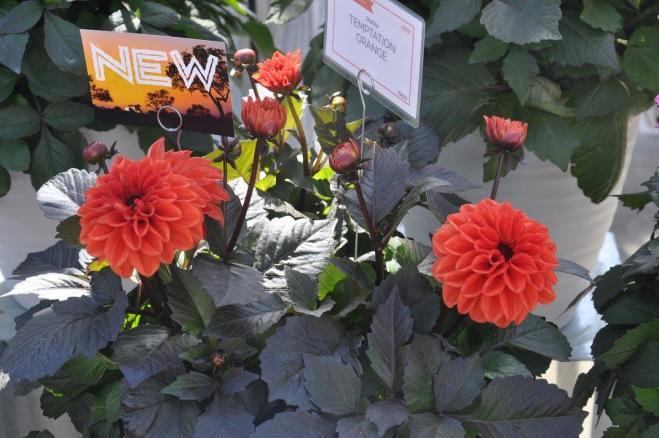 Dahlia temptation orange