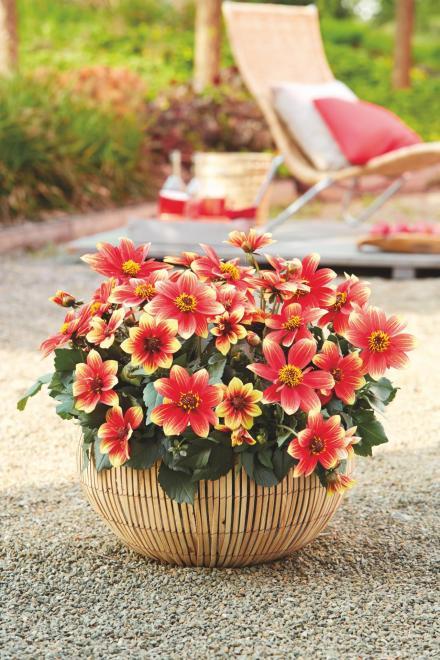 Dahlia x hybrida dahlegria red yellow bicolor photo fleuroselect