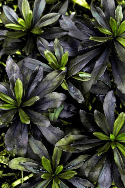 Daphne x houtteana frebruary plum 2
