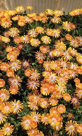 Delosperma x orange crush