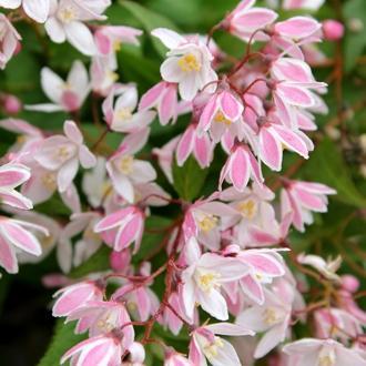 Deutzia x yuki cherry blossom minier sv