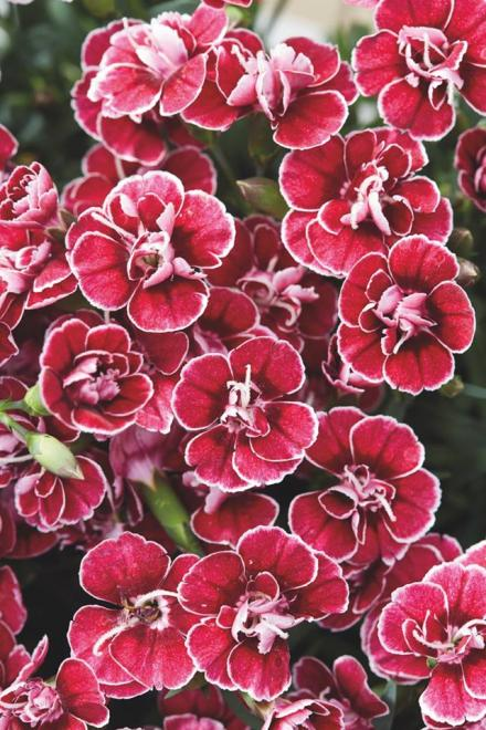 Dianthus caryophyllus capitan colon 3 jpg