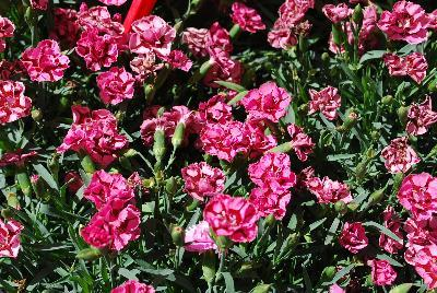 Dianthus everlast red pink