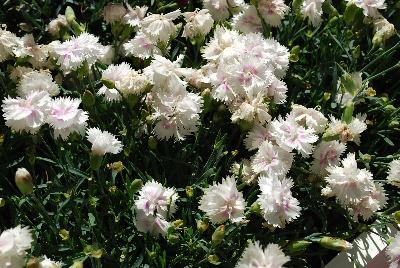 Dianthus everlast white eye