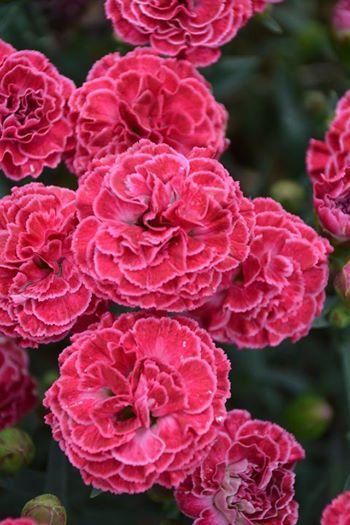 Dianthus fruit punch raspberry ruffles prven winners 1