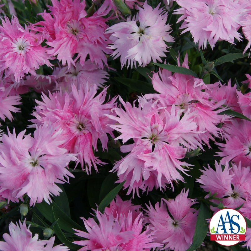Dianthus interspecific supra pink f1