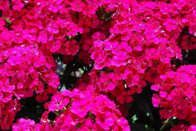 Dianthus jolt cherry