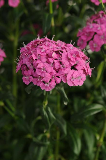 Dianthus jolt pink photo panamerican seed1