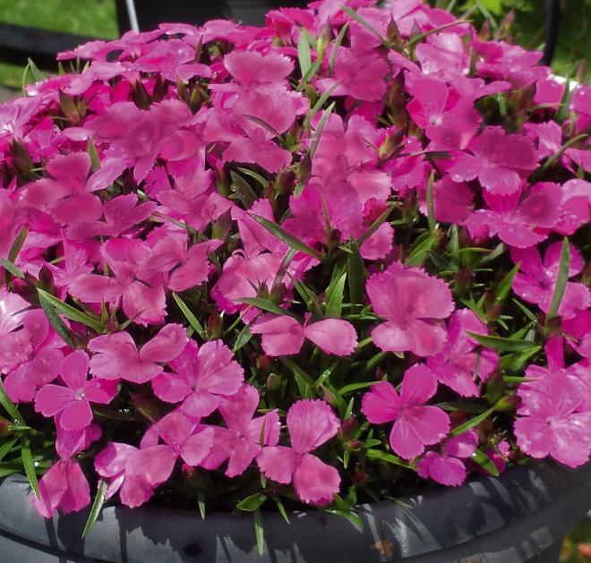 Dianthus moneybees alexia garden