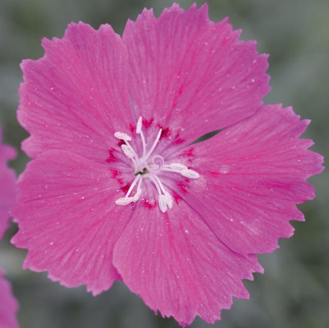 Dianthus moneybees garden mega pink