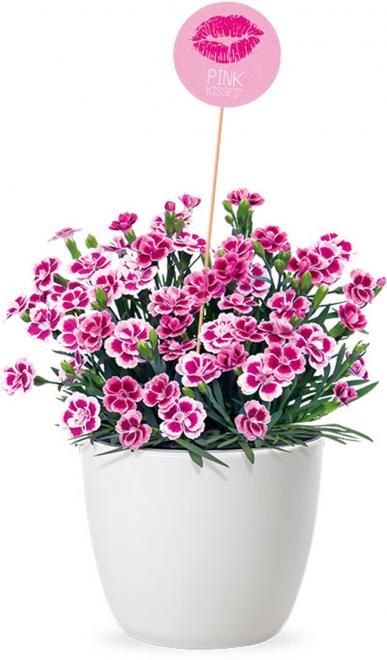 Dianthus pink kisses pot photo selecta one