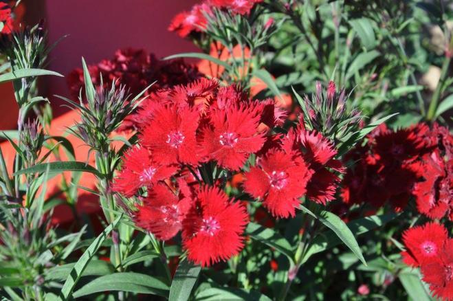 Dianthus red rockin red