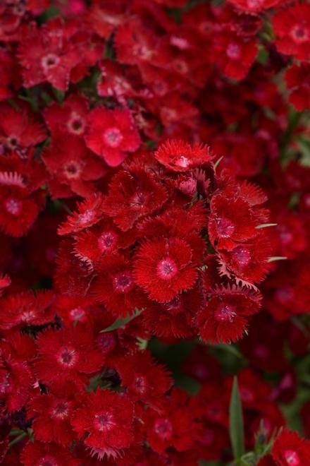 Dianthus rockin u2019 red photo panamerican seed