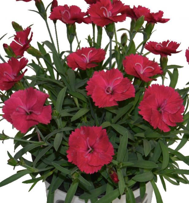 Dianthus sunnubees s carmine