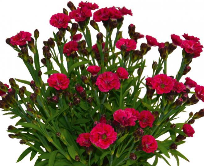 Dianthus sunnubees s cherry