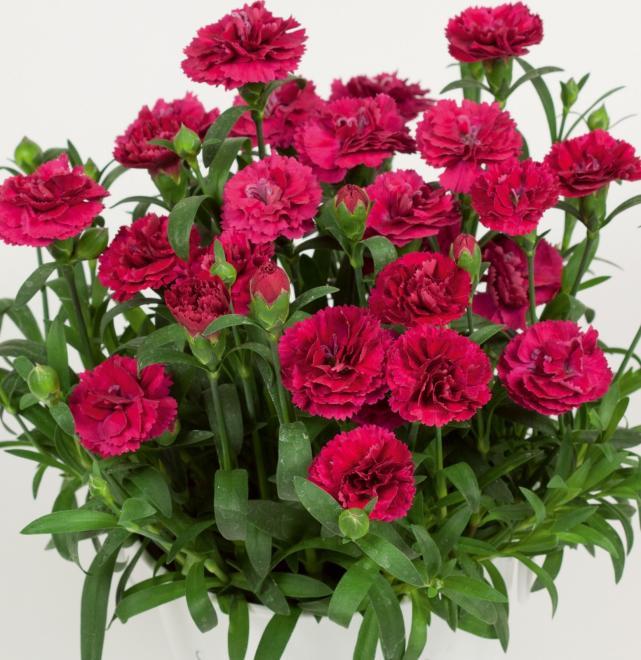 Dianthus sunnubees s dark rose