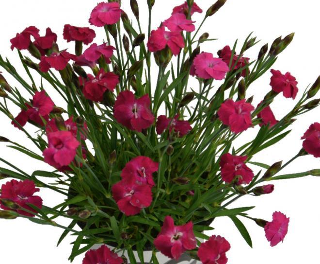 Dianthus sunnubees s deep rose