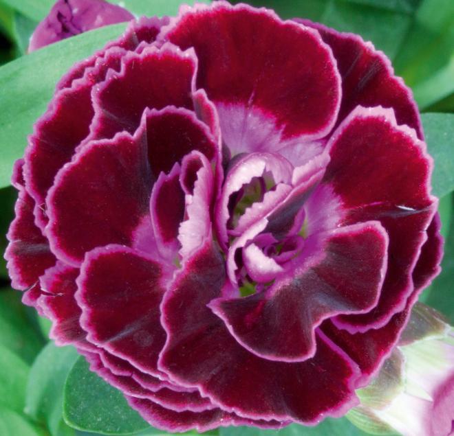 Dianthus sunnubees s purple bicolor
