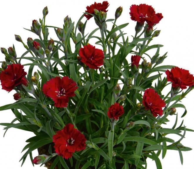 Dianthus sunnubees s red