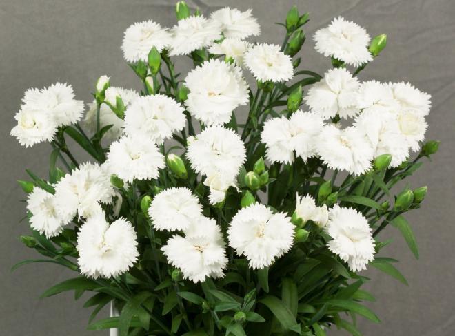 Dianthus sunnubees s white