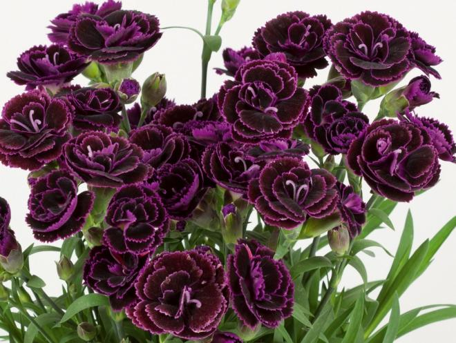 Dianthus sunnubees s wine bicolor