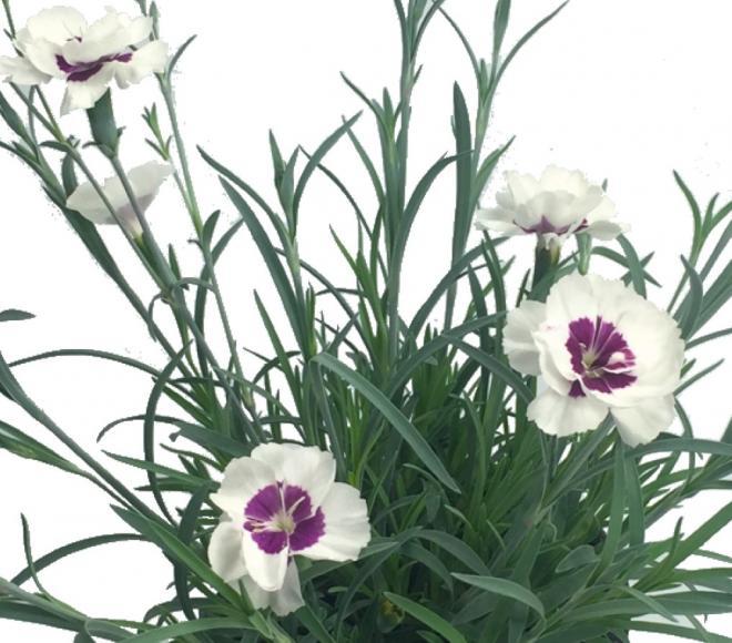 Dianthus sunnubees xl white purple eye