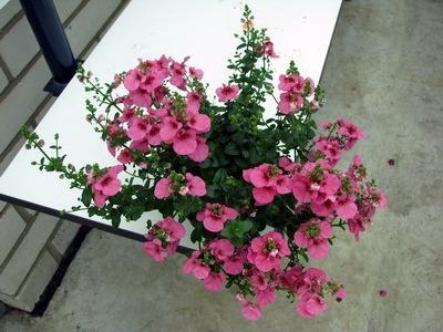 Diascia divara pink