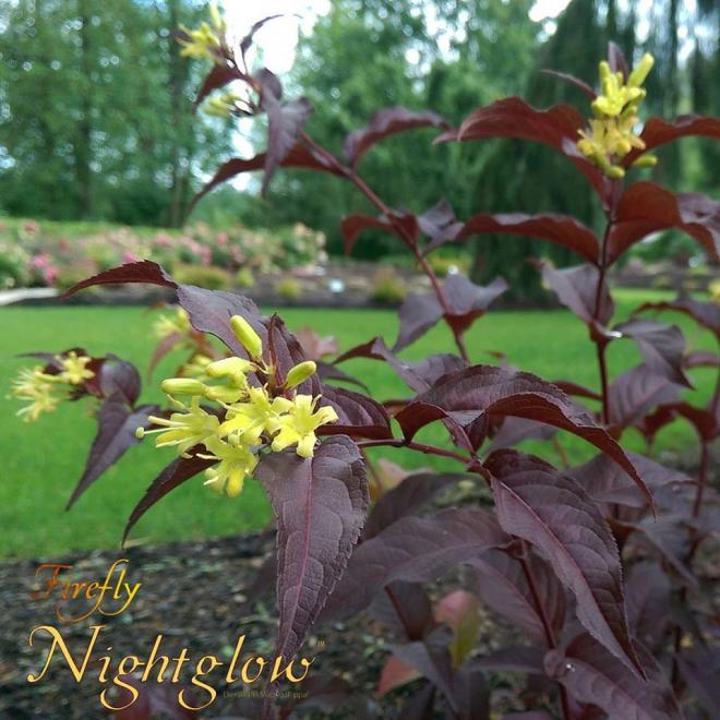 Diervilla splendens diva aka nightglow