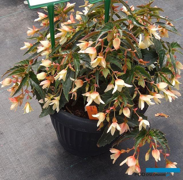 Dsc03925 begonia summerwings vanilla elegance m fot a cecot