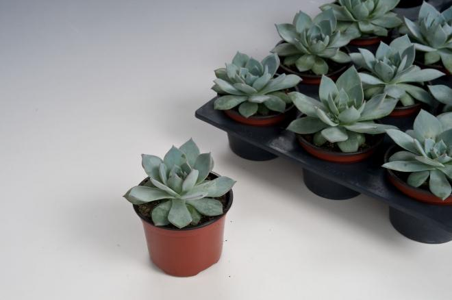 Echeveria peacockii l7270 1