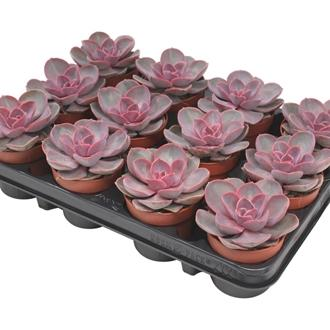 Echeveria red sky amiech amigo plant