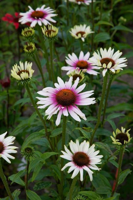 Echinacea funky white