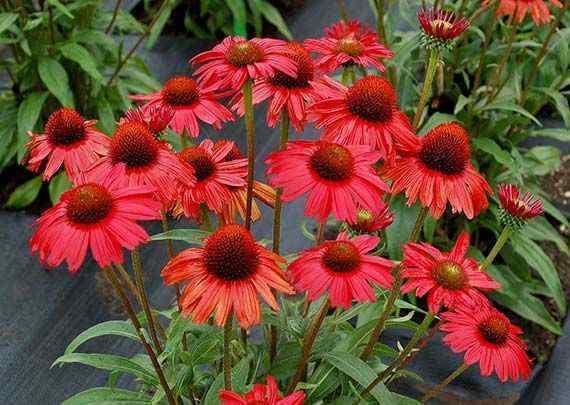 Echinacea kismet red 1