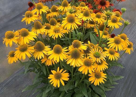 Echinacea kismet yellow 1
