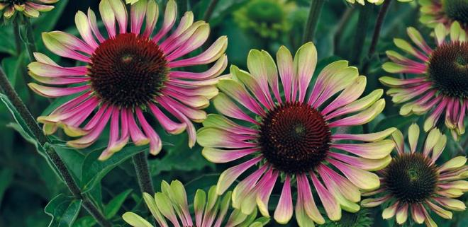 Echinacea purpurea green twister jelitto 2