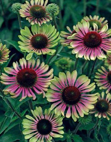 Echinacea purpurea green twister jelitto