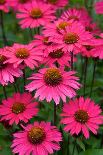 Echinacea sensation pink 3jpg
