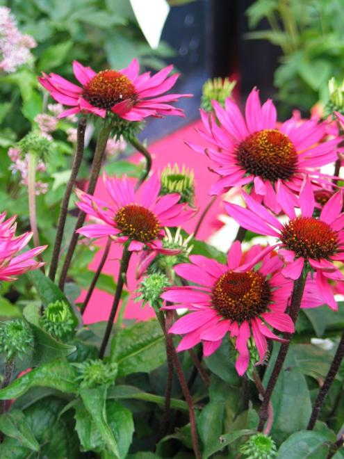 Echinacea so many varieties were introduced photo newplantsandflowers
