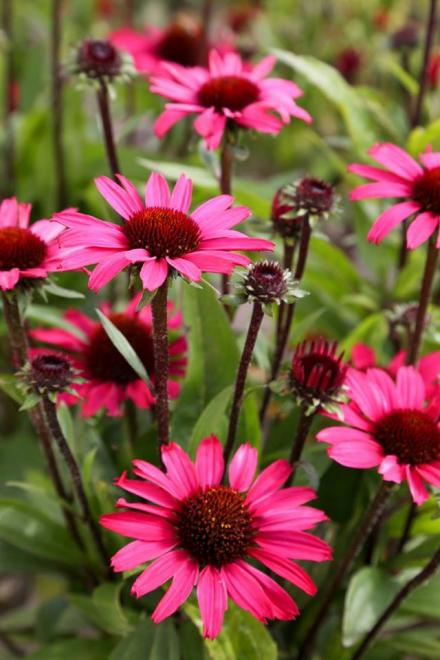Echinacea sunseekers purple