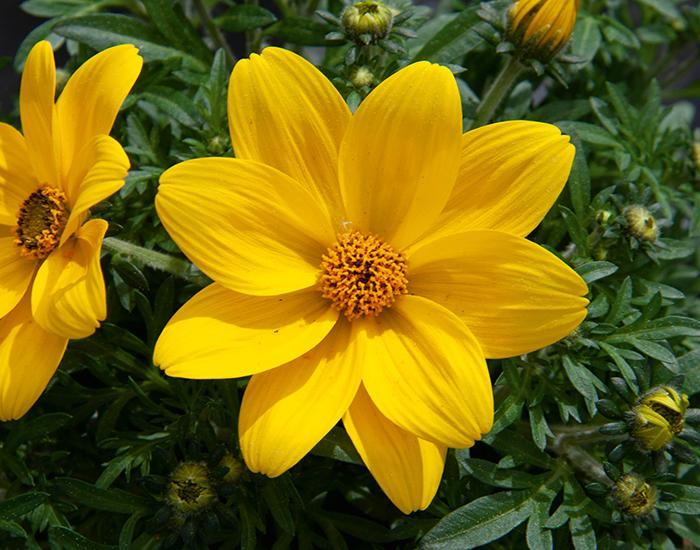 Eldoro compact yellow