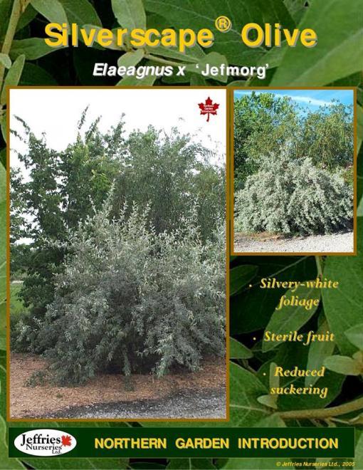 Eleagnus x silverscape