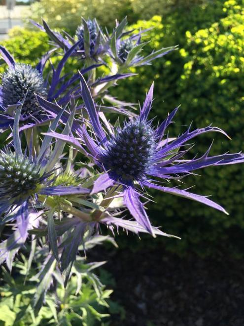Eryngium hillier blue waves