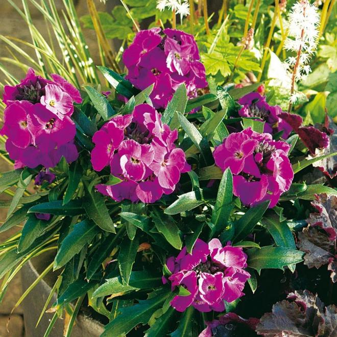 Erysimum winter joy 80600 1