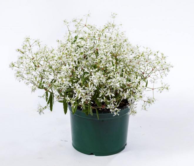 Euphorbia crystal white 1 jpg