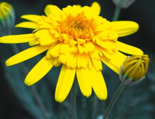 Euryops sunshine silver double