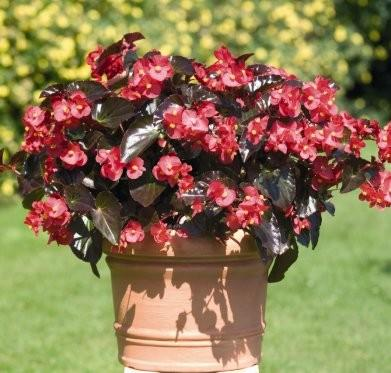 fa033-begonia-big-rouge.jpg