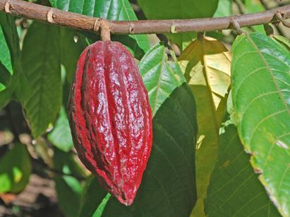 feve-de-cacao.jpg